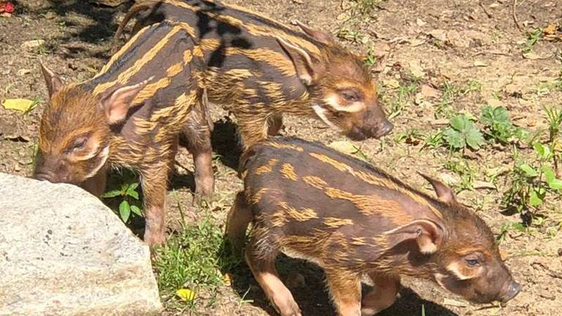 Two male and one female red river hog piglets were born at the Montgomery Zoo on May 12, 2019.