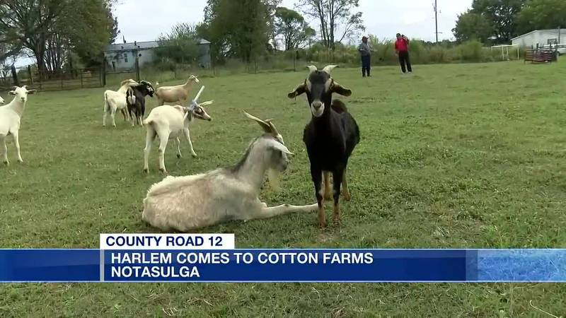 CR 12: Harlem Comes to Cotton Farms