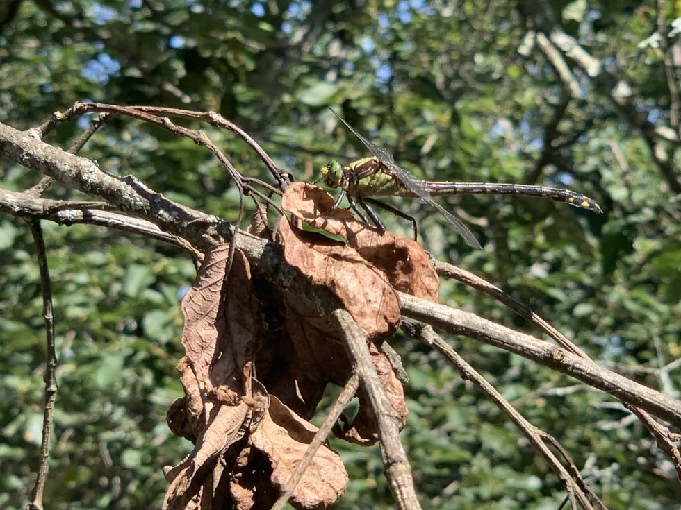 Cheaha is home to many different types of insects, such as dragonflies, which are known to eat...