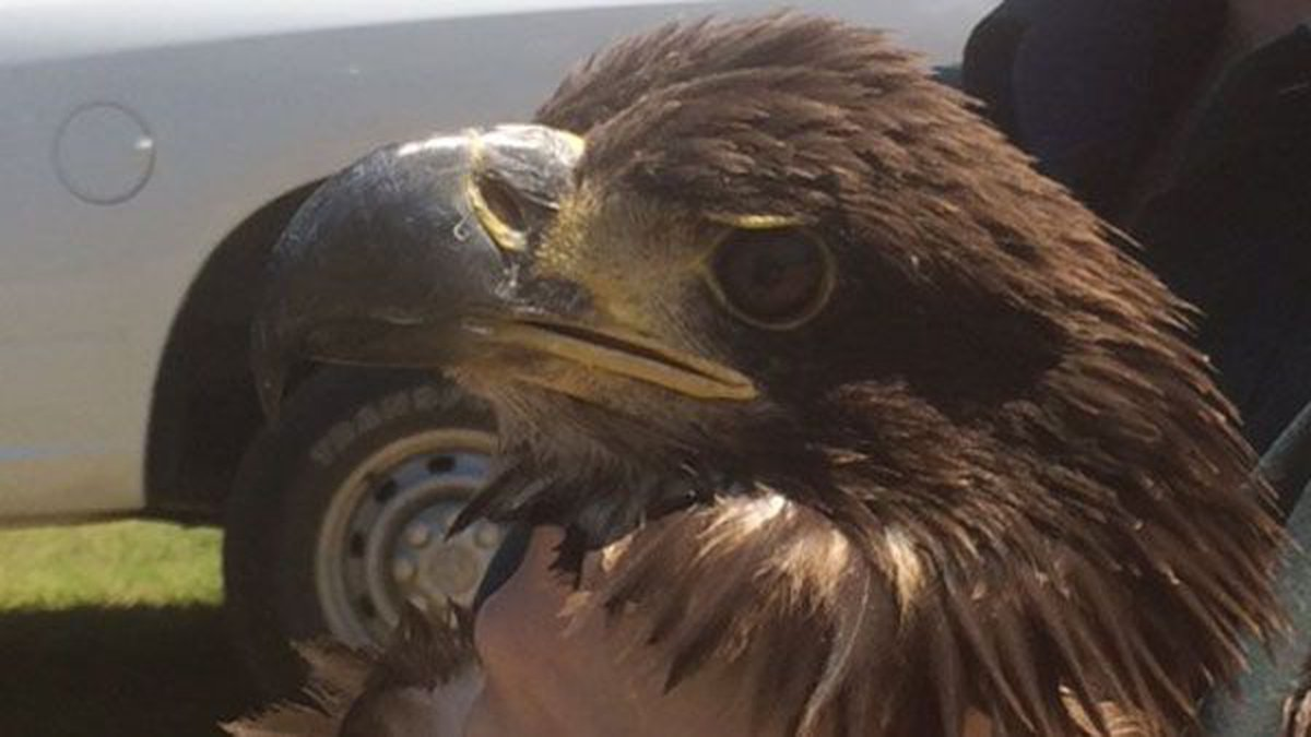 After spending time recovering at Auburn University's Raptor Center, the eagle has made a full...