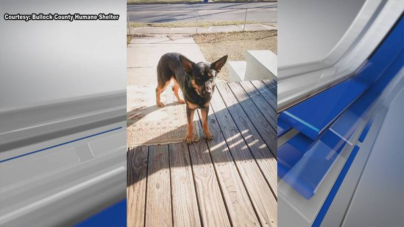 Heidy Quezada's beloved pet was shot in family front yard Thursday night. Dog is recovering at...