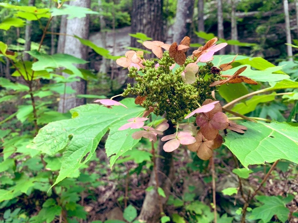 Bankhead National Forest is home to many different plants, such as the oak-leaf hydrangea,...