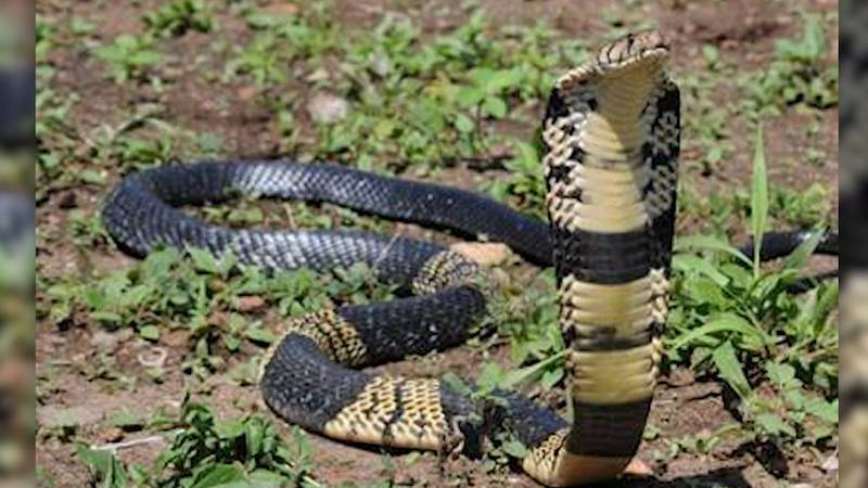 A West African Banded Cobra snake went missing from its enclosure on Tuesday, according to the...