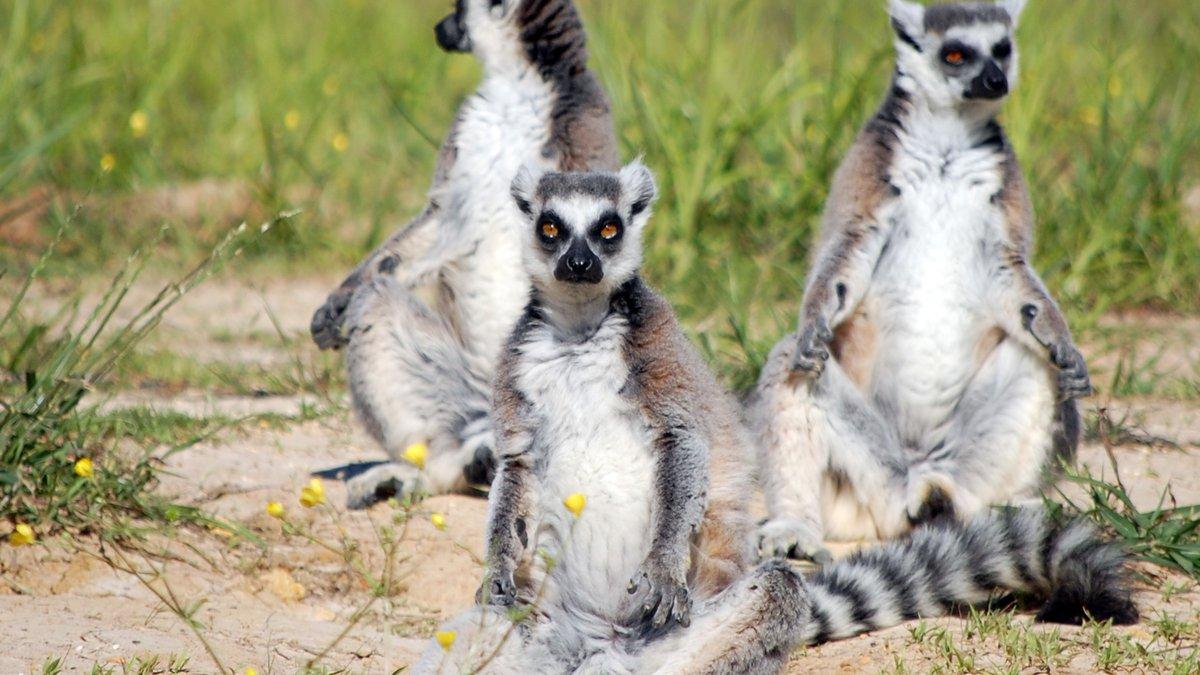 Alabama Safari Park has opened a new ring-tail lemur exhibit.