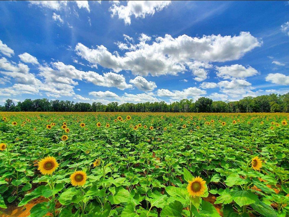 The Sunflower Field in Autaugaville