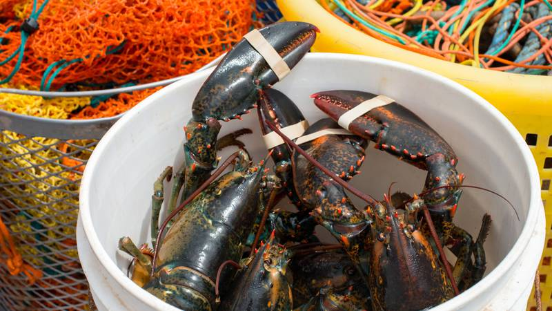 The fundraiser will feature fresh lobster caught off the coast of Maine.