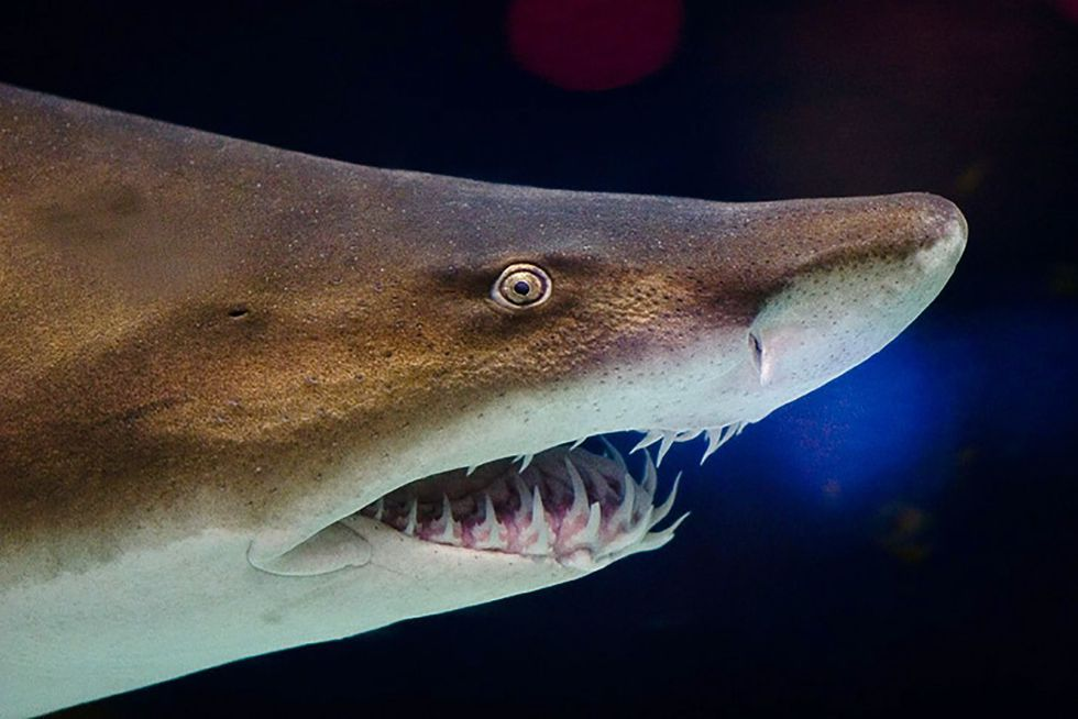 Close-up photograph of a modern Sandtiger Shark, which has teeth very similar to the new shark...