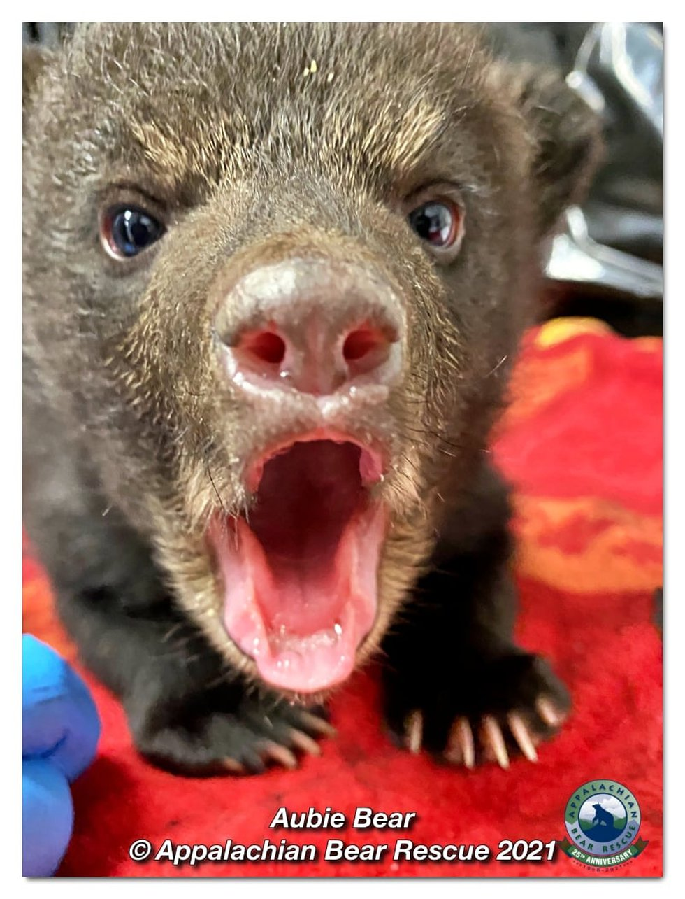Two abandoned bear cubs dubbed Big Al and Aubie have been returned to the wild in Alabama after...